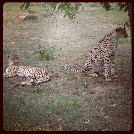 Cheetahs-at-Royal-Malewane-game-reserve-South-Africa