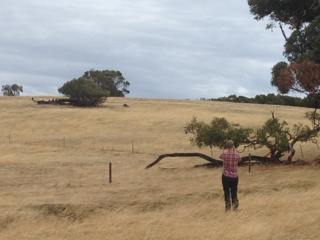 Kangaroos on Kangaroo Island Australia